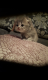 Чистокровные шотоандские котята